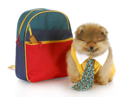 cute pomeranian puppy wearing shirt and tie sitting beside school bag with funny expression