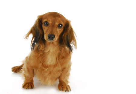 dachshund sitting looking at viewer - long haired miniature Stock Photo - 8307838