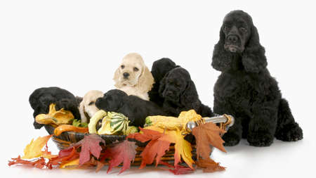 litter of cocker spaniel puppies in autumn basket with mother sitting beside with reflection on white background