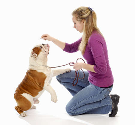 english bulldog being taught by owner to sit pretty on white background