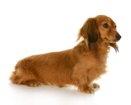 long haired miniature dachshund sitting with reflection on white background