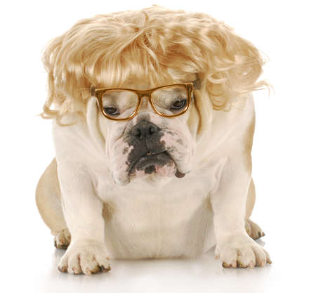 english bulldog wearing blond wig and reading glasses with reflection on white background 版權商用圖片