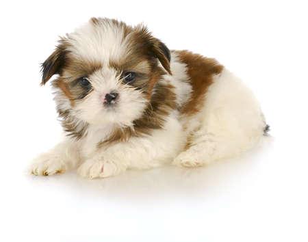 白い背景の上で-6 週齢敷設愛らしいシーズーの子犬