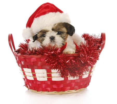 schattig shih tzu puppy zitten in chrismas mand op witte achtergrond