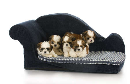 litter of shih tzu puppies laying on blue dog bed with reflection on white background