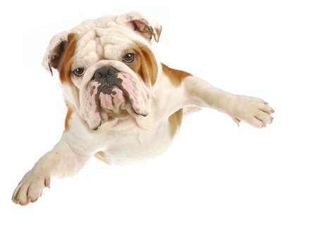 Engels bulldog met armen vliegen op witte achtergrond