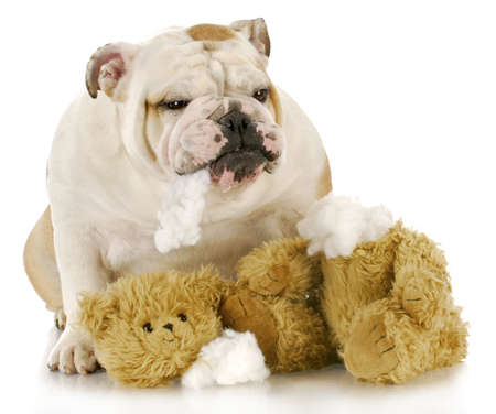 english bulldog ripping apart stuffed animal with reflection on white background Foto de archivo