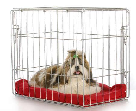 chien dans une caisse - pure race Shan TSEU chiot sur fond blanc