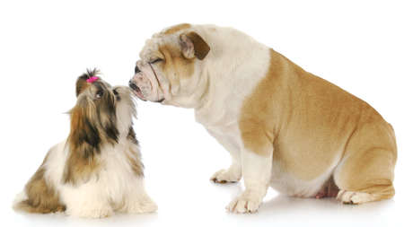 shih tzu and english bulldog friendship with reflection on white background