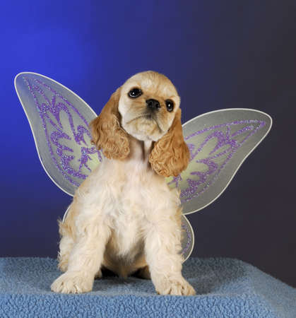 cocker spaniel puppy with angel wings on blue background