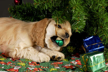 cocker spaniel puppy chewing on christmas ornaments under tree