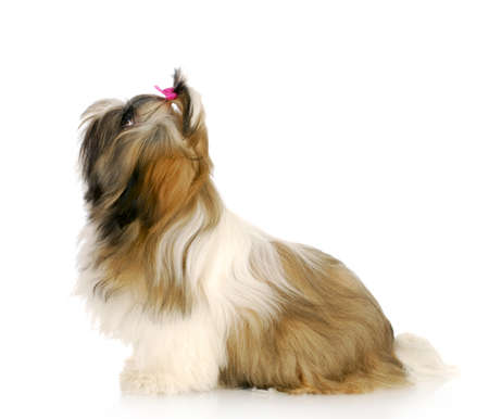 adorable shih tzu puppy sitting looking up with reflection on white background