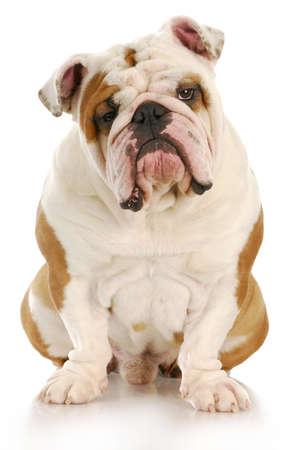 Engels bulldog vergadering op zoek naar viewer met reflectie op witte achtergrond Stockfoto