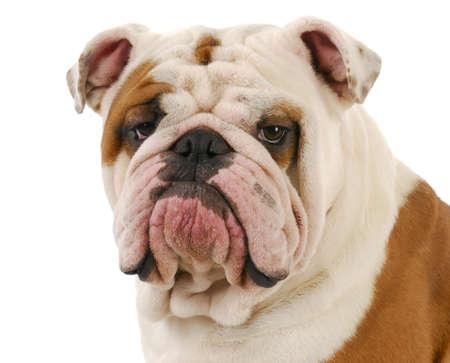 Engels bulldog hoofd portret op witte achtergrond Stockfoto