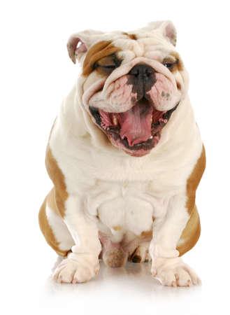 Engels bulldog met mond open - ziet eruit als lachen