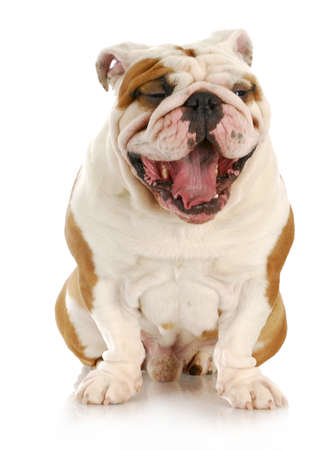 english bulldog with mouth open - looks like laughing
