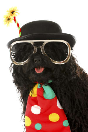 puli dressed up like a clown on white background Stock Photo - 8622537