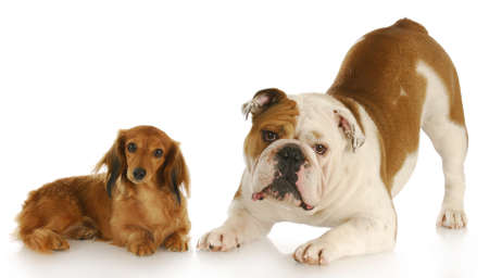 dachshund and english bulldog looking at viewer with reflection on white background