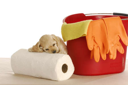 house training puppy - cute cocker spaniel puppy resting head on paper towels with pail and bucket Archivio Fotografico