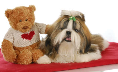 puppy love - teddy bear comforting adorable shih tzu puppy on red blanket