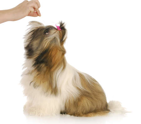 feeding dog - hand holding treat for hungry shih tzu puppy with reflection on white background