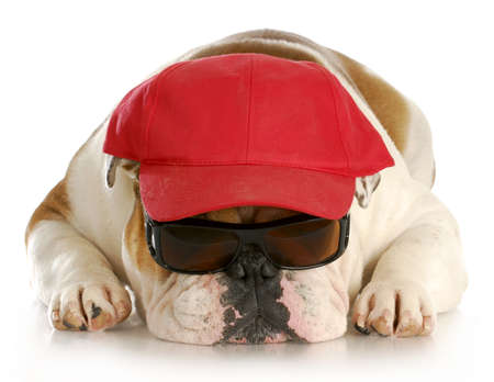 english bulldog wearing sunglasses and red hat with reflection on white background Stock Photo