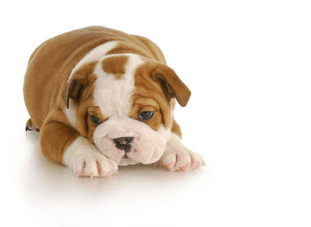 英語ブルドッグ子犬 - 6 週間の古い白の背景に 写真素材 - 8937753