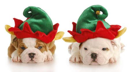 Engels bulldog pups verkleed als Kerstmis elf met reflectie op witte achtergrond Stockfoto