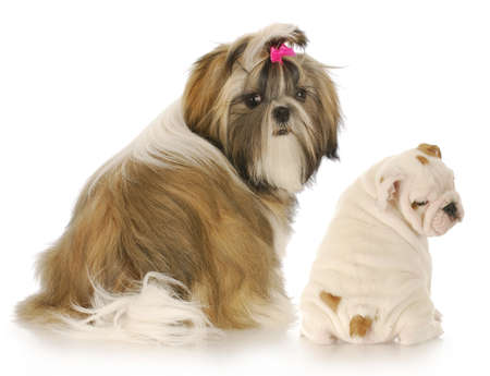 shih tzu and english bulldog puppies looking over their shoulder at viewer on white background Stock Photo
