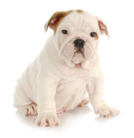 Engels bulldog puppy zittend op witte achtergrond