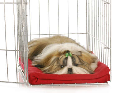 shih tzu puppy laying in dog crate on red blanket Archivio Fotografico
