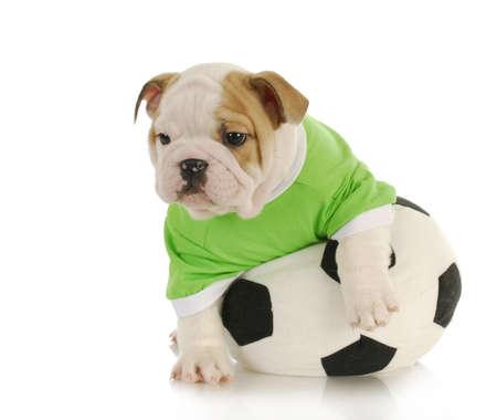 Engels buldogpuppy het spelen met gevulde voetbalbal op witte achtergrond Stockfoto - 8999537