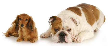 miniature dachshund and english bulldog laying down looking at viewer on white background