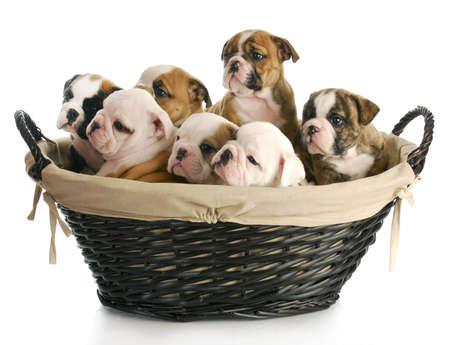 Camada de cachorros - cesta de mimbre lleno de cachorros de bulldog inglés - 6 semanas Foto de archivo - 9061395