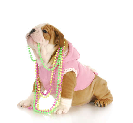 cute puppy - female english bulldog puppy chewing on beads on white background