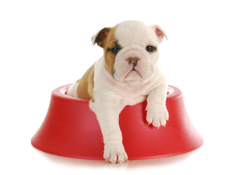 weaning puppy - 5 week old english bulldog puppy sitting inside red dog food bowl on white background