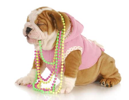 Engels bulldog pup dragen van roze en kauwen op sieraden op witte achtergrond