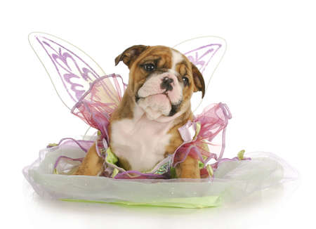 puppy dressed like an angel - adorable english bulldog puppy - 7 weeks old