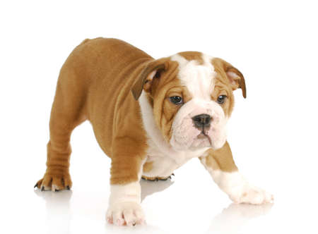 english bulldog puppy standing on white background - 8 weeks old