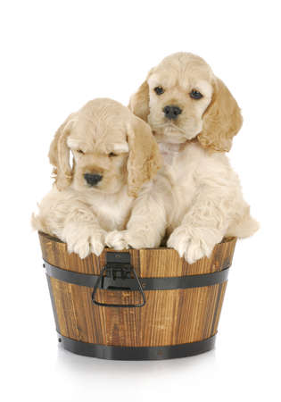 litter of cocker spaniel puppies in a wooden bucket on white background Reklamní fotografie