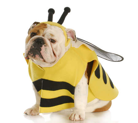 english bulldog dressed up like a bee with reflection on white background
