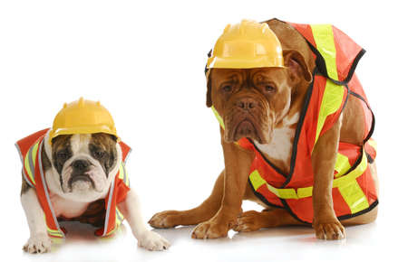 working dogs - english bulldog and dogue de bordeaux dressed like very tire construction workers on white background