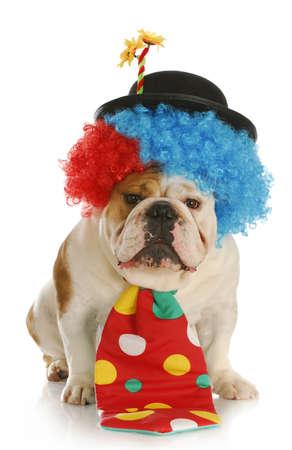 payaso - bulldog inglés vestir el traje de payaso en fondo blanco