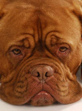 dogue de bordeaux - close up details of face