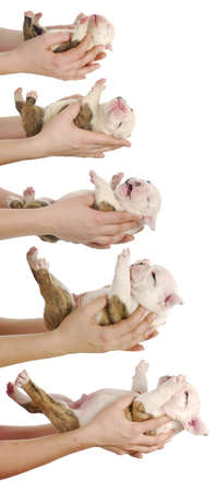 puppy growth - english bulldog puppy at one day, one week, two weeks, three weeks and four weeks of age