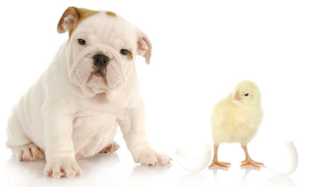 adorable english bulldog puppy sitting beside baby chick on white background