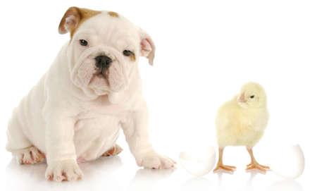 schattig Engels bulldog pup zittend naast baby chick op witte achtergrond