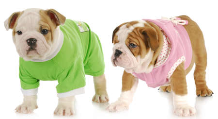 two puppies - english bulldog puppy girl and boy wearing sweaters on white background