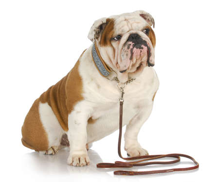 dog on a leash - english bulldog sitting wearing collar and leash on white background Фото со стока