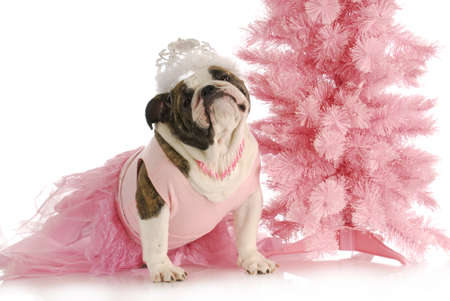 verwend hond - Engels bulldog gekleed als een prinses in roze met tiara op witte achtergrond